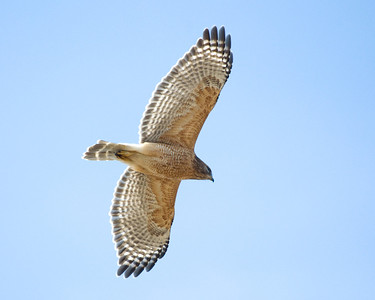 Red Shouldered Hawk in glide