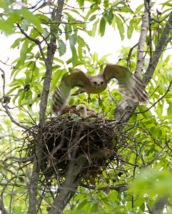 "2012 Red Shouldered Hawk Nest - ""Nest Defense"" - 4956 - 120428"