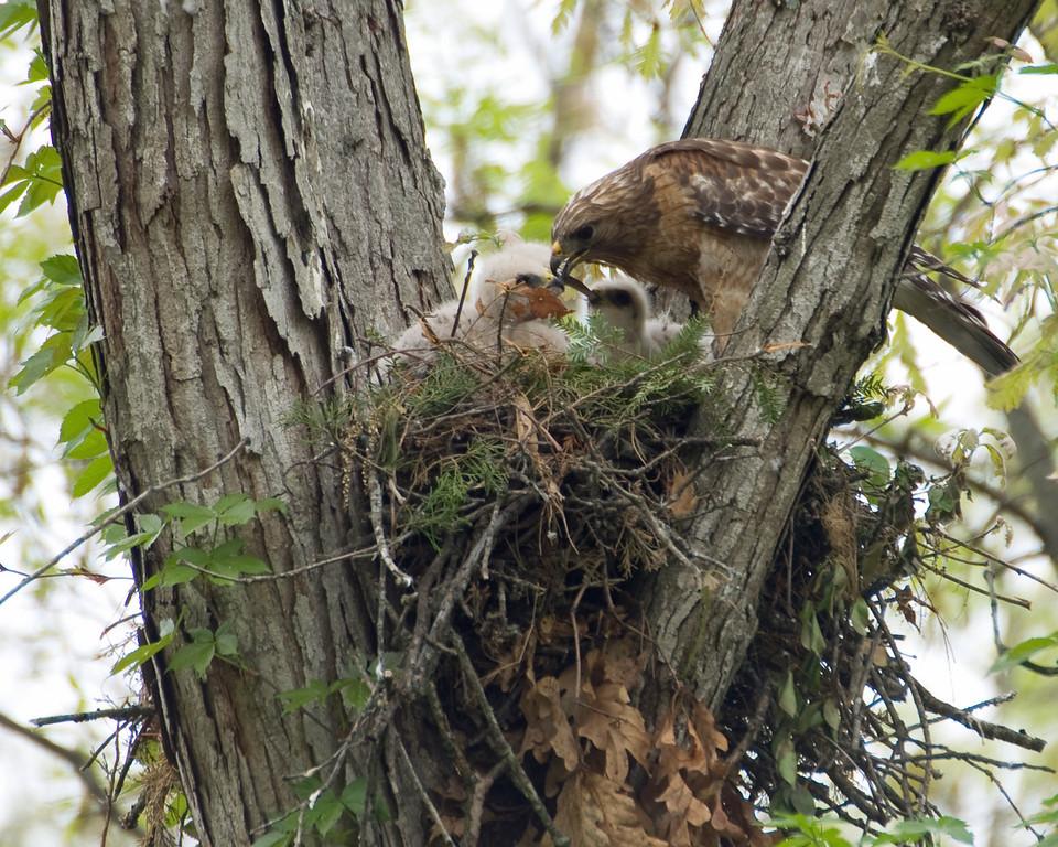 Feeding Red Shoulder Hawk Nest