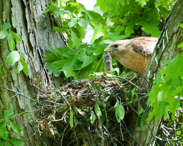2010 Red Shouldered Hawk Nest 8067