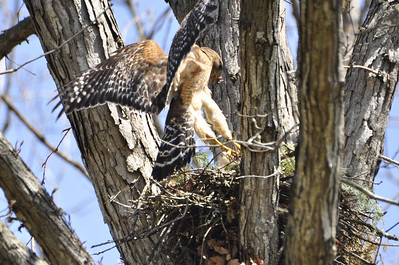 2009 Red Shouldered Hawk Nest 8642