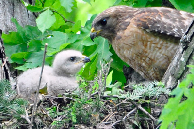 2010 Red Shouldered Hawk Nest 8795