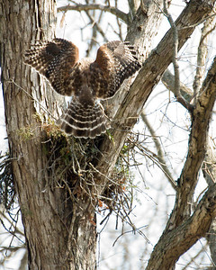 Red Shouldered Hawk Landing at Nest D3589