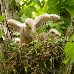 "2010 Red Shouldered Hawk Nest - ""First Stretch"""