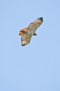 Red Tailed Hawk - D1698