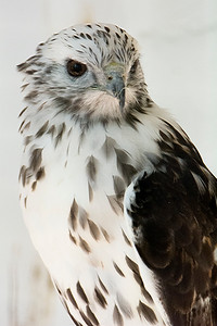 An actual Kreiter's Red Tailed Hawk from The World Bird Sanctuary