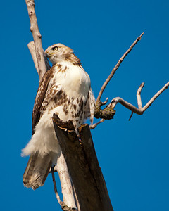 Red Tailed Hawk 9611