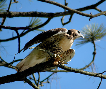Red Tailed Hawk - 8114