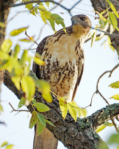 Red Tailed Hawk SC8141 - This photo is not manipulated. Birds can contort quite a bit to keep their sight locked in. Many birds also feel safer when branches block a potential threat's sight line.