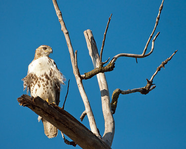 Red Tailed Hawk 9717