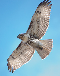 Red Tailed Hawk Glide 0607D