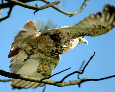 Red Tailed Hawk - 8115