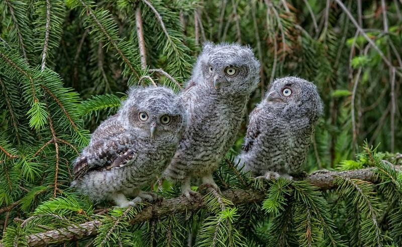 Eastern Screech Owls -Triplets -1