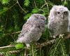 Baby Screech Owls - 1