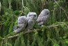 Eastern Screech Owls - Triplets - 3