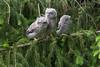 Eastern Screech Owls - Triplets - 4