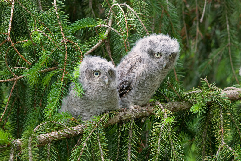 Baby Screech Owls - 2