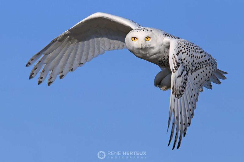 Snowy owl staredown