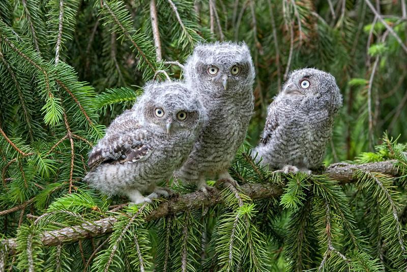 Eastern Screech Owls - Triplets - 2
