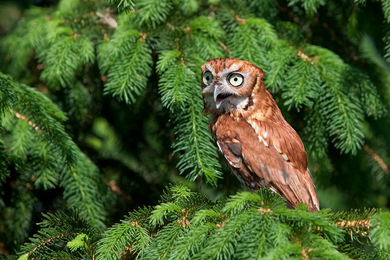 Red-phased screech owl