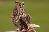 Short Earred Owl