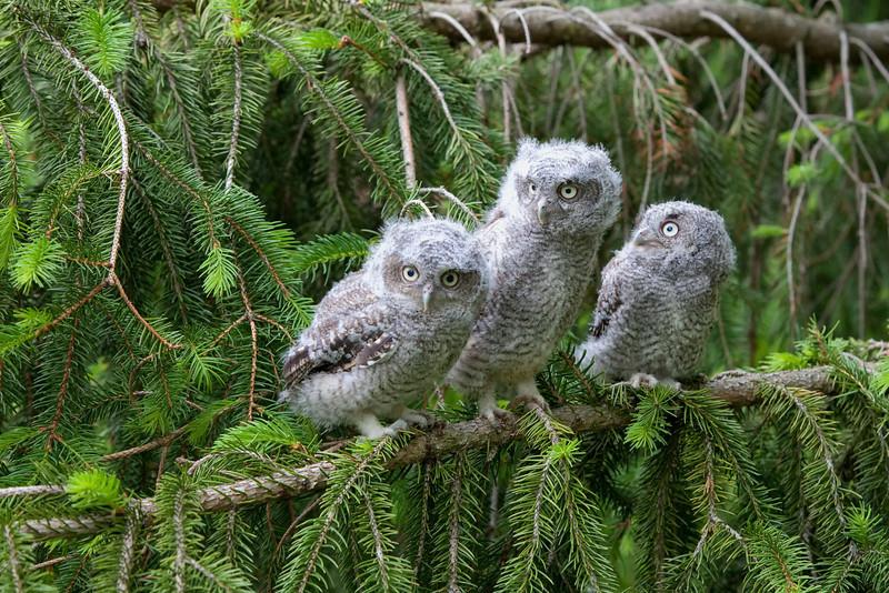 Eastern Screech Owls - Triplets - 5