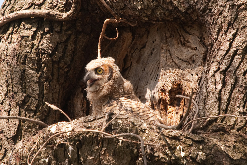 Baby Great Horned Owlet