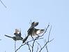 Loggerhead Shrike chasing Northern Mockingbird<br /> Hillandale Park, Harrisonburg, VA 4-10-10