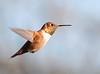 Rufous Hummingbird, male<br /> Hinton, VA 11-11-10