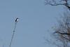 Loggerhead Shrike ignores A. Goldfinch...<br /> Hillandale Park, Harrisonburg, VA 4-10-10<br /> (first reported 4/9/10 by Rockingham Bird Club)