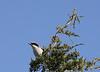 Loggerhead Shrike<br /> Hillandale Park, Harrisonburg, VA 4-10-10