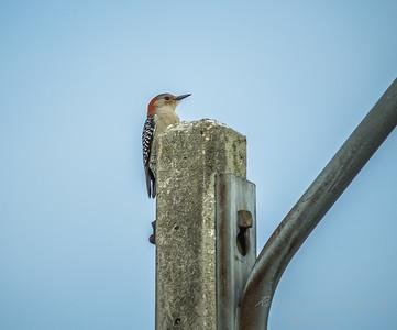 Red-bellied Woodpecker  (AMFLUX)   2018-02-11-2110026