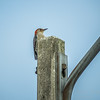 Red-bellied Woodpecker  (AMFLUX)   2018-02-11-2110026