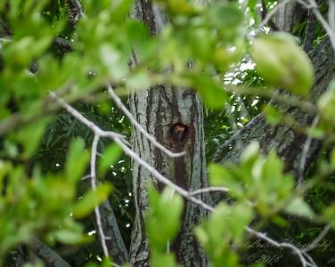 Red-bellied Woodpecker  (-)   2009-00013