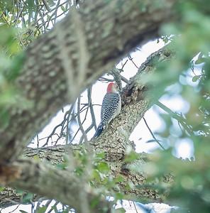 2018-11-11_PB110012_red-bellied woodpecker