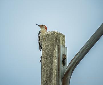 Red-bellied Woodpecker  (AMFLUX)   2018-02-11-2110008