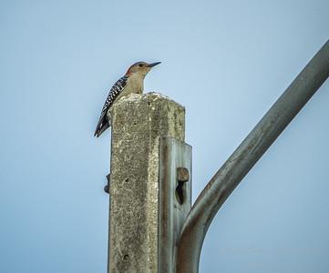 Red-bellied Woodpecker  (AMFLUX)   2018-02-11-2110005