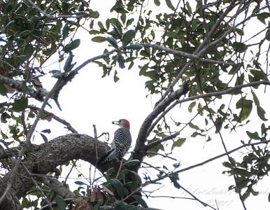 Red-bellied Woodpecker,Clearwater,Fl 2017-12-22-13408162
