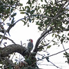 Red-bellied Woodpecker,Clearwater,Fl 2017-12-22-13408162