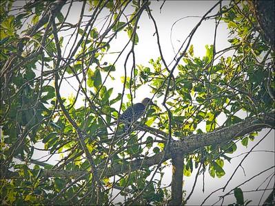 P9060006_red-bellied woodpecker