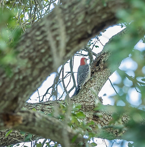 2018-11-11_PB110008_red-bellied woodpecker