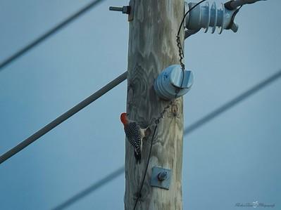_B130058_Red-bellied Woodpecker
