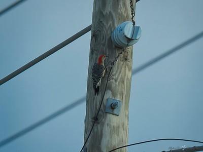 _B130055_Red-bellied Woodpecker