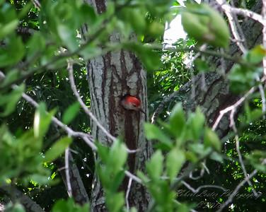 Red-bellied Woodpecker  (-)   2009-