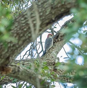 2018-11-11_PB110011_red-bellied woodpecker