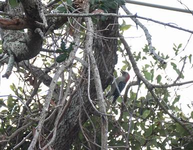 Red-bellied Woodpecker,Clearwater,Fl 2017-12-22-13408142