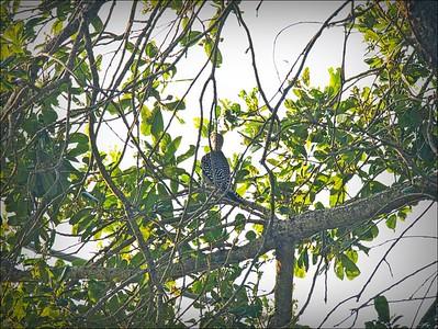P9060005_red-bellied woodpecker