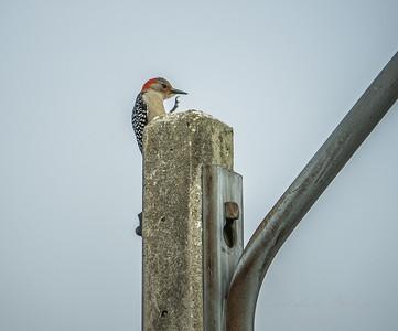 Red-bellied Woodpecker  (AMFLUX)   2018-02-11-2110022