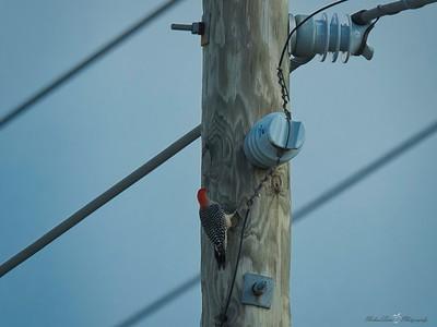 _B130059_Red-bellied Woodpecker