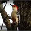 Red Bellied Woodpecker...©PhotosRUs2008